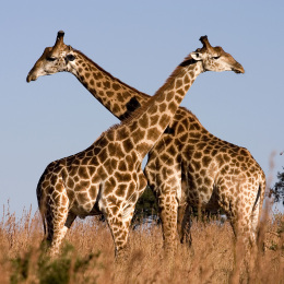 Save Giraffes From Impending Extinction