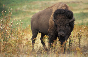 bison by jack dykinga
