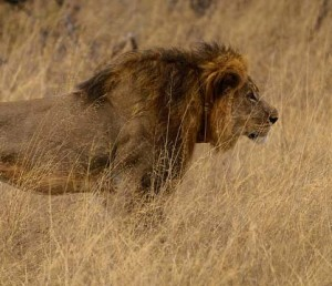 Cecil-the-Lion-by-Vince-O'Sullivan-cropped