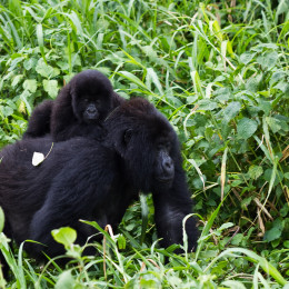 Stop Export of Wildlife From Congo to China