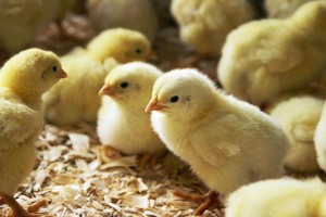 Chicks Benjamin Rondel