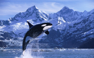 Orca Whale Breaching Glacier Bay Composite SE