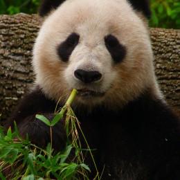 Save Giant Panda Habitat
