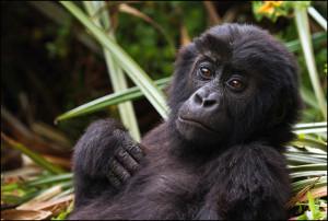 Eastern-Lowland-Gorilla-Infant-in-Kahuzi-Biega-National-Park-By-Joe-McKenna