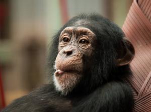 chimpanzee-by-william-warby