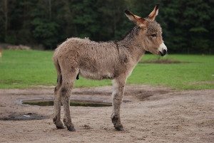 Donkey_By_Lilly M