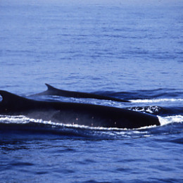 Adapt New Technologies to Save North Atlantic Whales