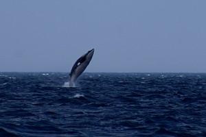 Minke Whale_By_Martin Cathrae