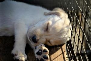 Puppy Sleeping by Hasmat Ali