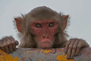 Rhesus Macaque by J. M. Garg