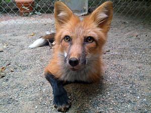 Fox_By_Kayfedewa