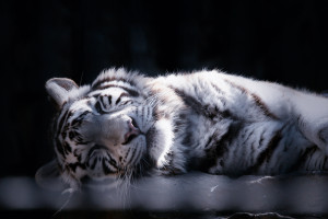 Tiger sleeping by reonis