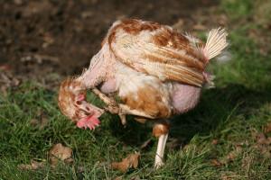 featherless-chicken by Karen Jackson