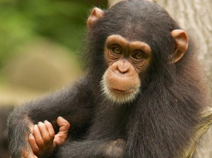 Chimpanzee Chi King