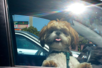 car window dog w tongue