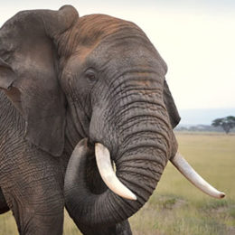 Tell Yahoo! Japan to Stop Selling Elephant Ivory