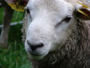 Sheep-by-Linda-van-Klaveren