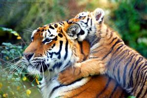 Tiger Keven Law