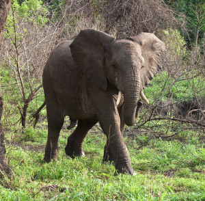 african_elephant_by_richard_towell