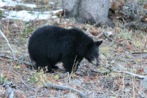 black_bear_by_fidelis_orozco