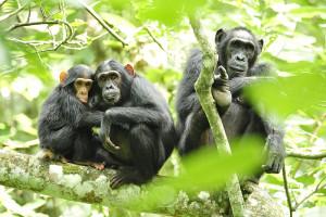 chimpanzees-by-USAID-Africa-Bureau