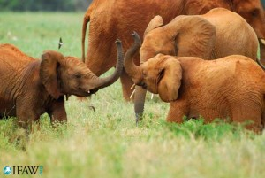 Elephants in the grass at Tsavo East National Park.