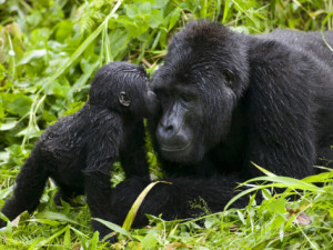 mountain-gorillas-kissing-by-paul-souders