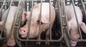 pigs-by-HSUS