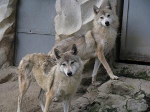 tibetan_wolves_by_shankar_s
