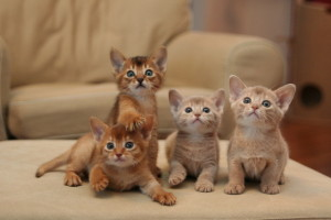 4_Abyssian_kittens_by_Pia_Ojanen