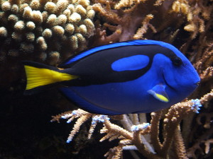 Blue Tang Monterey Bay Aquarium
