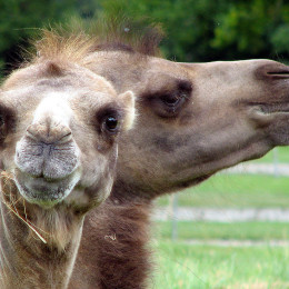 Don't Force Camels to Give Students Rides for Entertainment