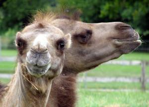Camel Arpingstone