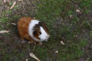 Guinea-Pig-by-Leszek-Leszczynski