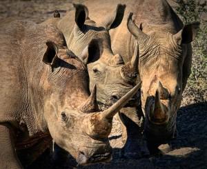 Rhinos by Sais van Schalkwyk