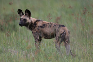 african_wild_dog_by_lip_kee