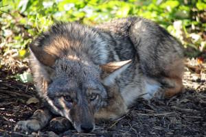 coyote-by-john-picken