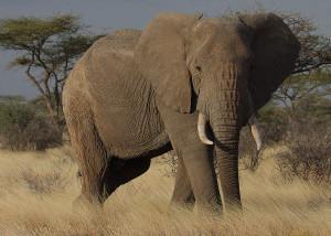 elephant-by-Steve-Garvie