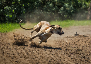 greyhound by Bergadder