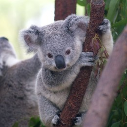 Support Genetic Research to Save Koalas