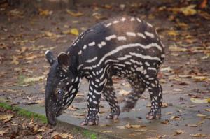tapir-by-craig-lymm