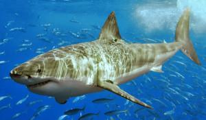 white-shark-Terry-Goss