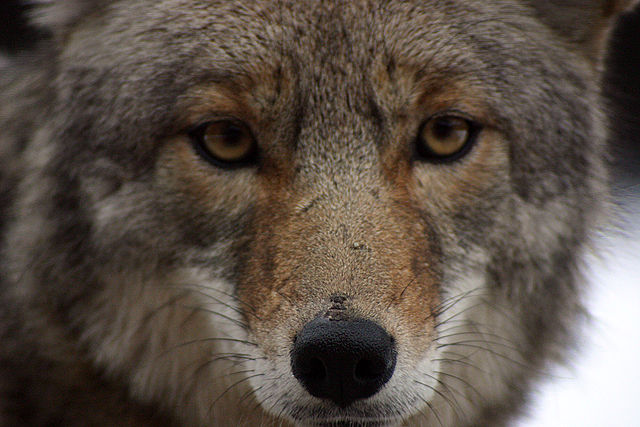 how to stop coyotes from killing dogs