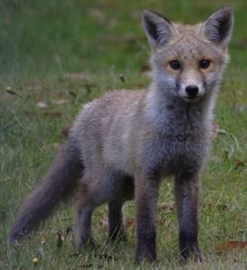 Fox Cub by Andrew Smithson