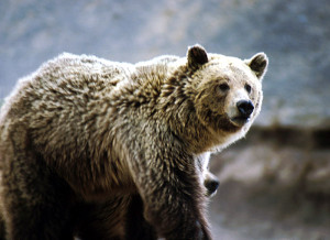 Grizzly-bear-by-NNPS