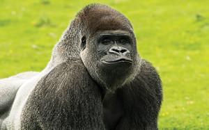 gorilla-victoria-kaderbhai