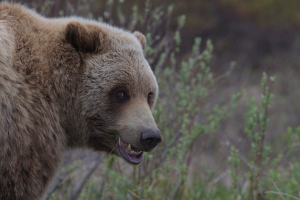 grizzly-bear-by-gregory-smith