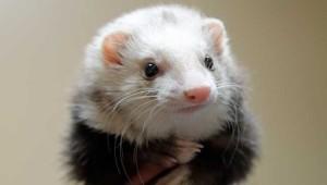 pet-ferret.jpg.653x0_q80_crop-smart