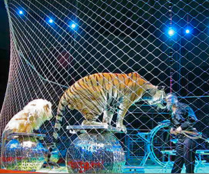Circus-tiger-by-Steve Jurvetson