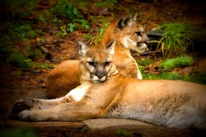Cougars_by_ClaireGribbin
